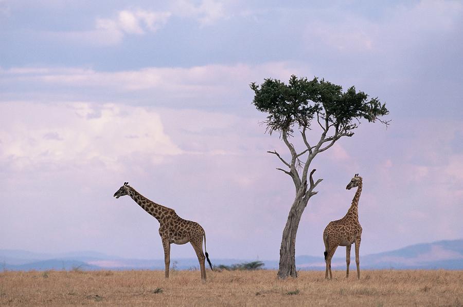 Two Giraffes With Acacia Tree, Masai Photograph by James Gritz / Robertharding