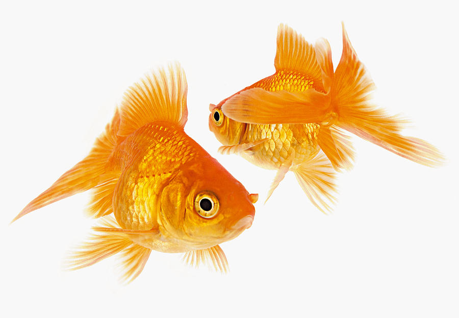 Two Goldfish Crossing Each Other Photograph by Cocoon