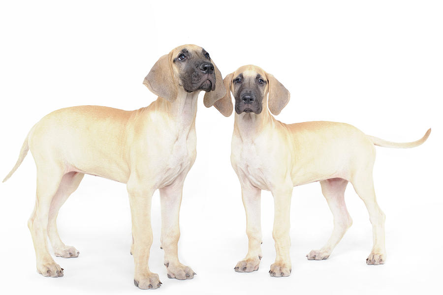 Two Great Danes Photograph by Studio 504