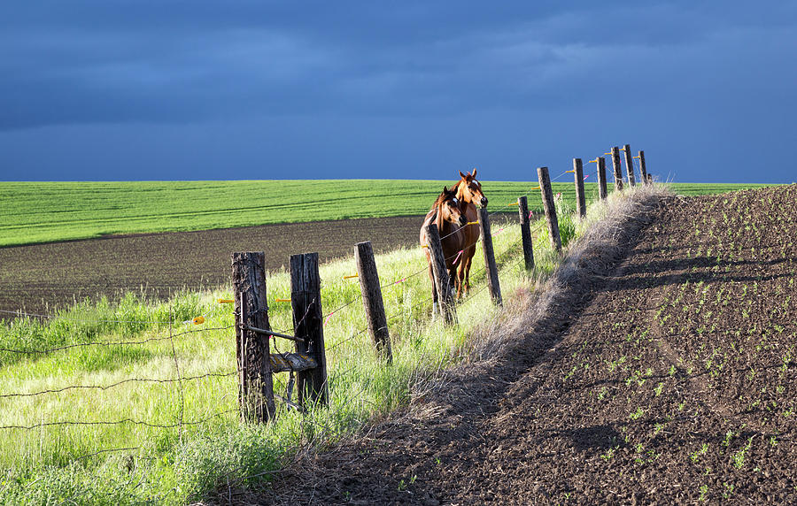 Two Horses in the Palouse by Cheryl Strahl