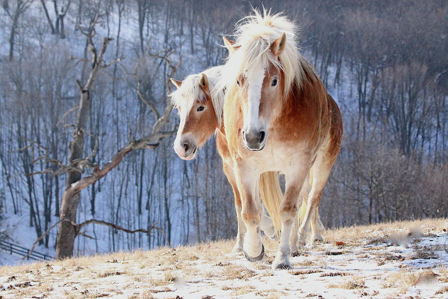 Two Horses On Snowy Hill In Winter Photograph by Driftless Studio