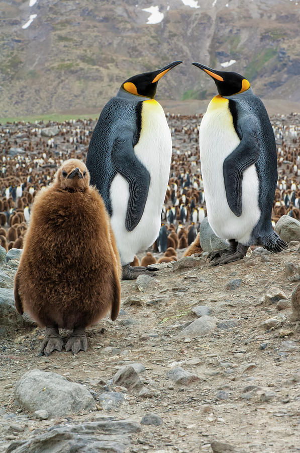 Two King Penguins And A Chick Photograph by Gabrielle Therin-weise