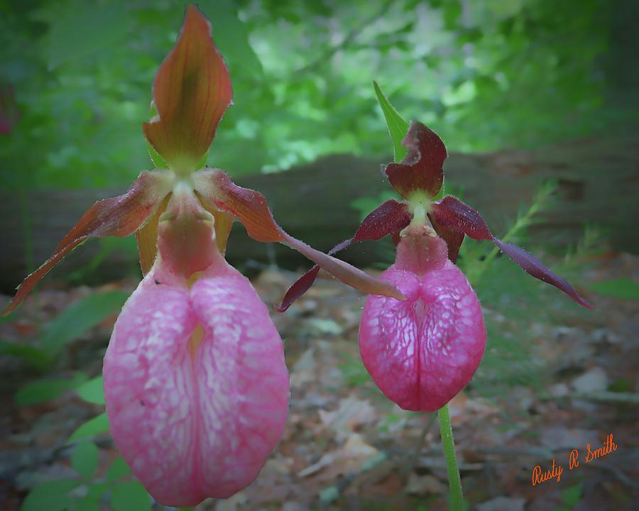 Two lady slippers close-up. by Rusty R Smith