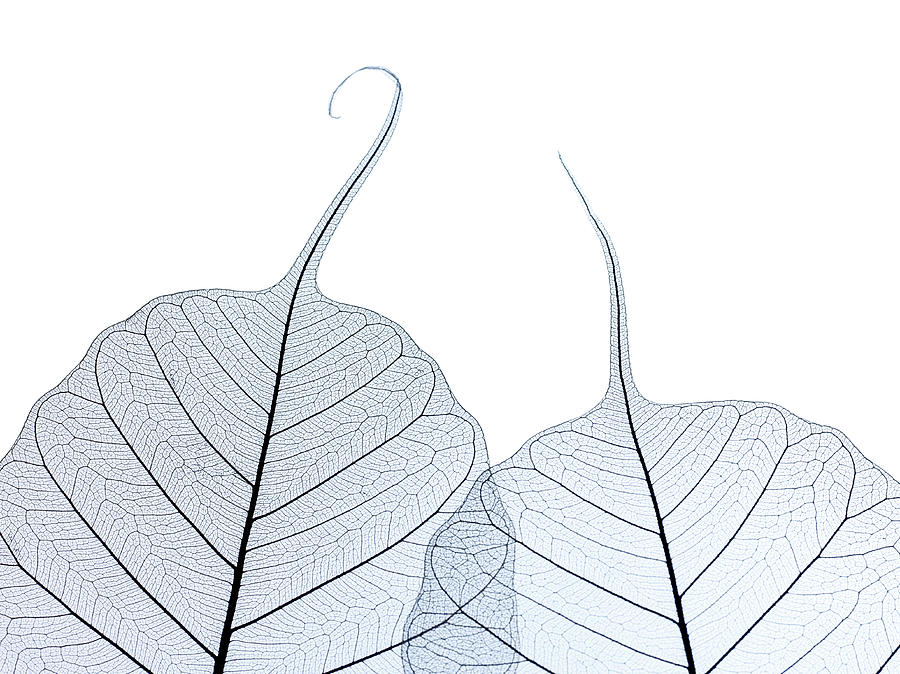 Two Leaf Skeletons Photograph by Peter Dazeley