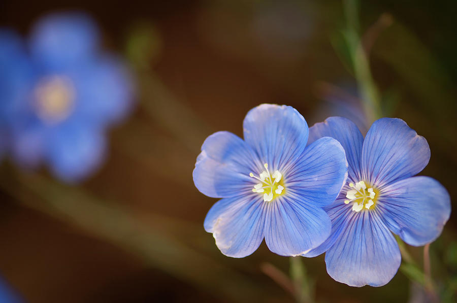 Two Light Blue Flax Flowers Linum Photograph by Maria Mosolova