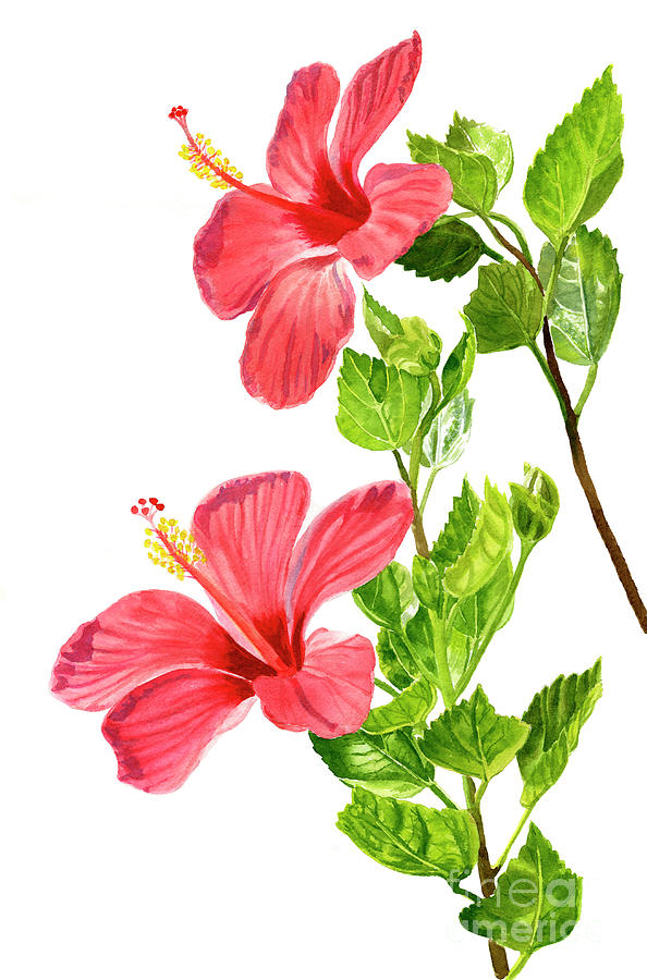 Two Light Red Hibiscus Flowers Painting By Sharon Freeman