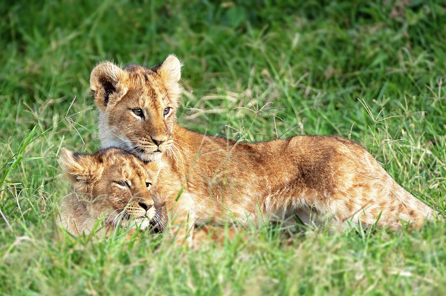 Two Lion Cubs Snuggling in Africa by Susan Schmitz