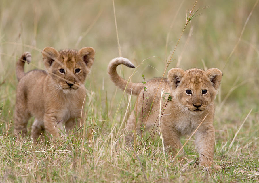 Two Lion Panthera Leo Cubs Walking Photograph by Paul Souders