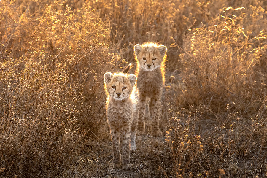 Cheetah Photograph - Two Little Cheetah by Hung Tsui