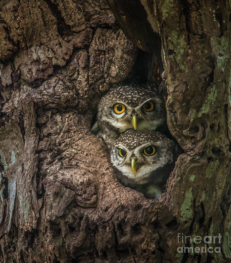Two Lovely Spotted Owlet Photograph by Thanit Weerawan