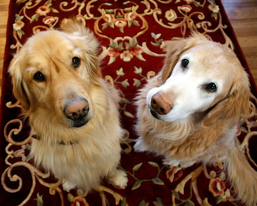 Two Loyal Golden Retrievers Photograph by Victoria Neer