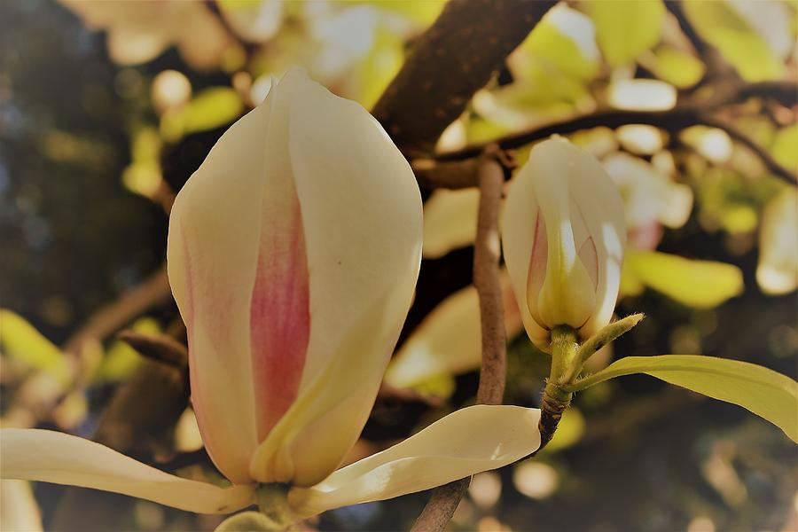 Two Magnolia Buds by Loretta S