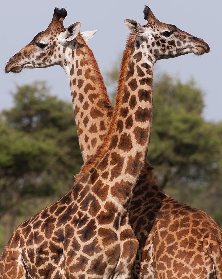 Two Masai Giraffe Looking Away From Photograph by Mint Images - Art Wolfe