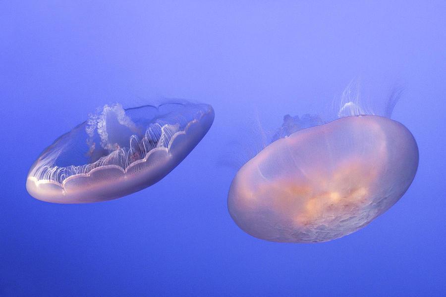 Two Moon Jellyfish by Bonnie Follett