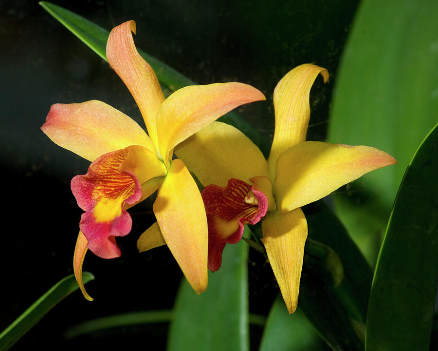Two Orchids Photograph by Harold Silverman - Flowers