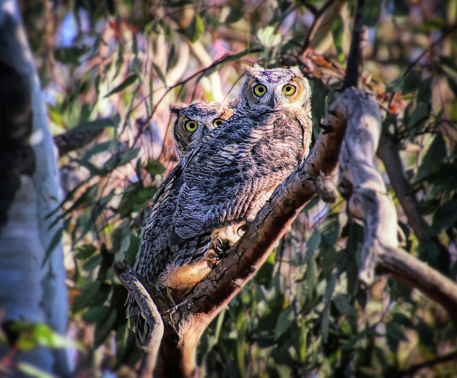 Two Owls by Diana Haronis
