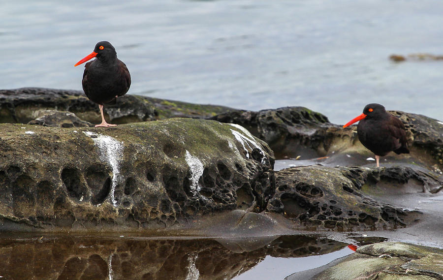 Two Oystercatchers in the Gulf Islands by Pacific Northwest Sailing