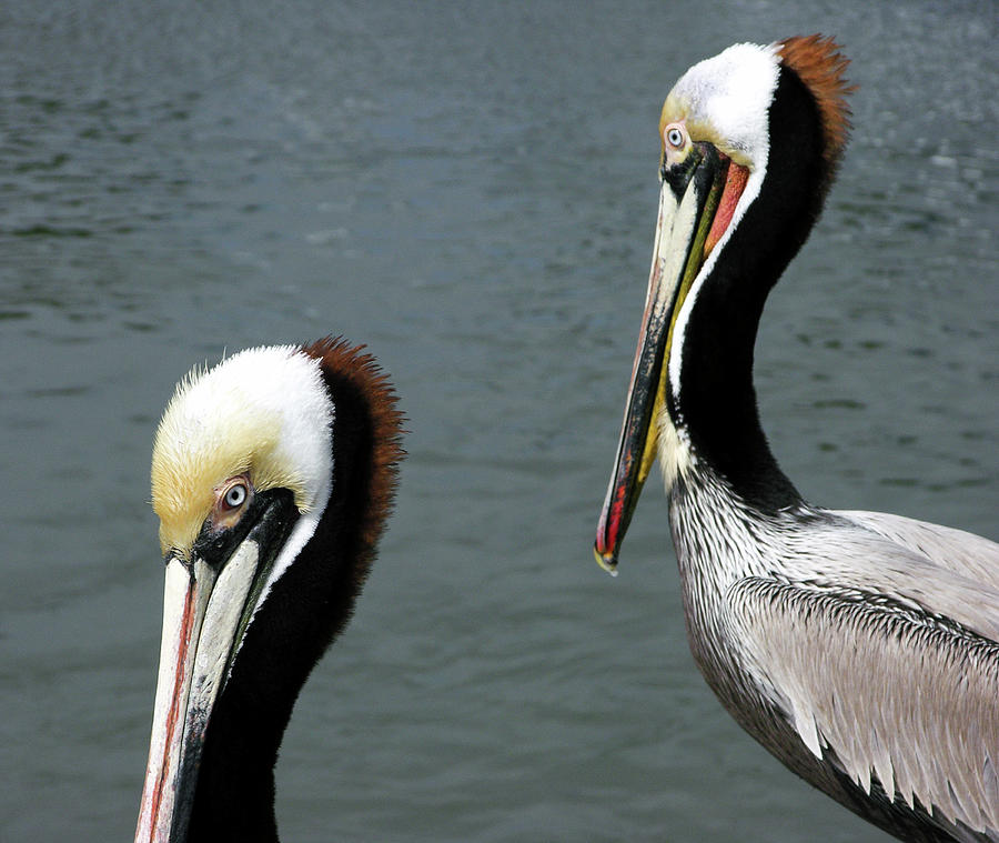 Two Pelicans by David Shuler