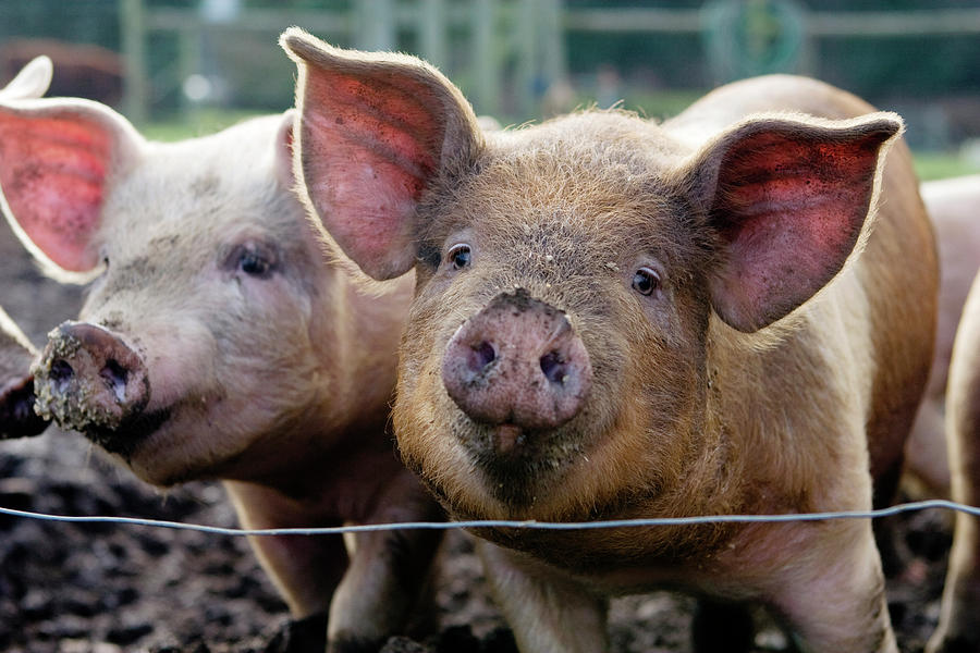 Two Pigs On  Farm Photograph by Charity Burggraaf