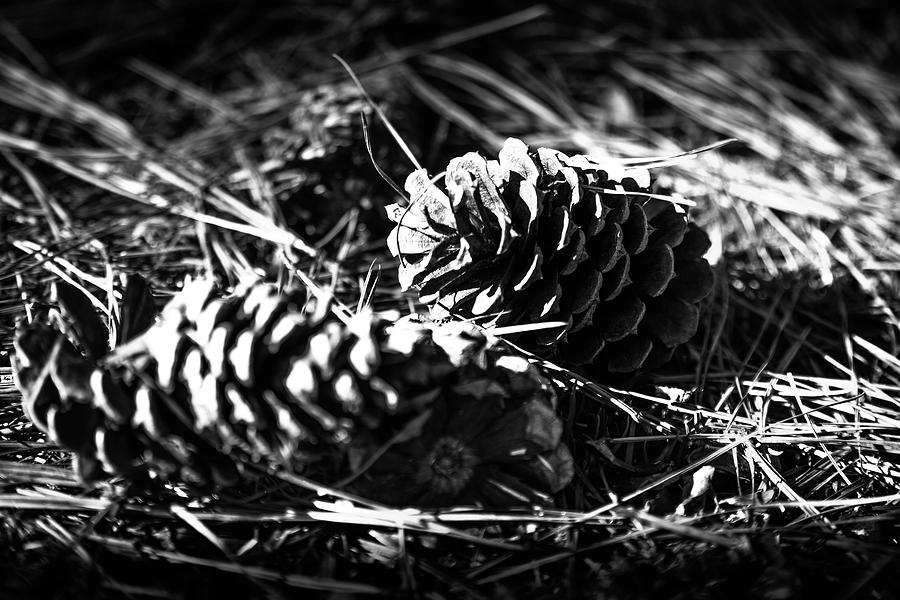 Two Pine Cones by Doug Camara