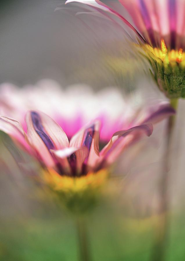 Two Pink African Daisies Abstract 1 Photograph