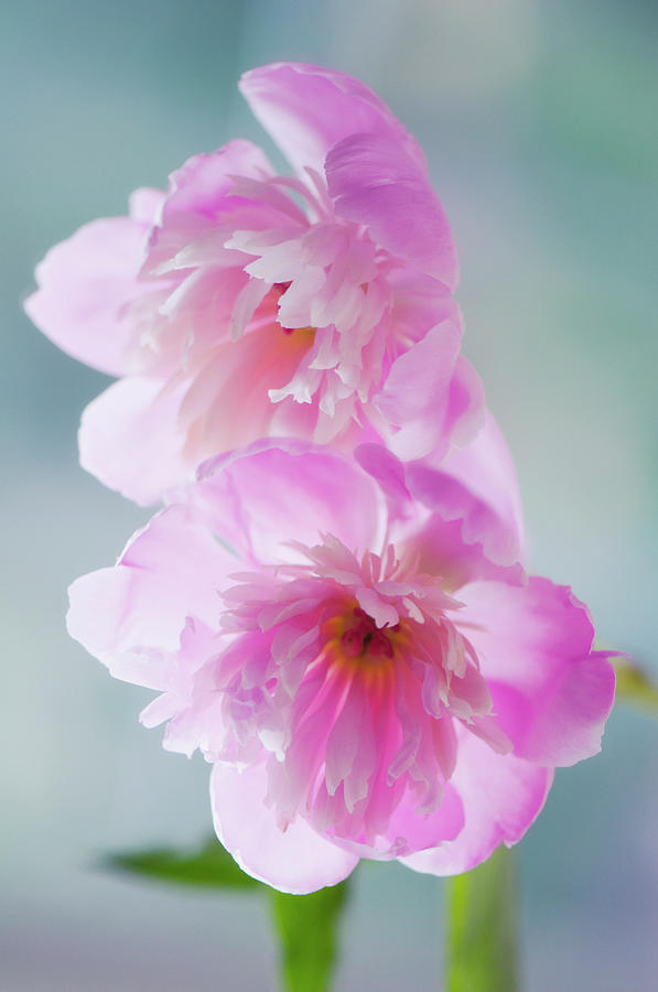 Two Pink Peony Flowers Touching Photograph by Maria Mosolova