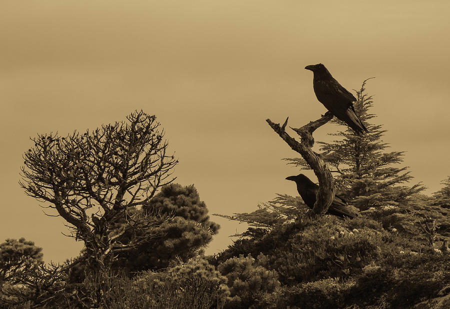 Two Ravens in a Tree by Pacific Northwest Sailing
