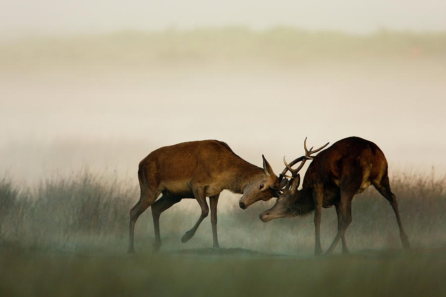 Two Red Deer Fighting In The Fog Photograph by Damiankuzdak