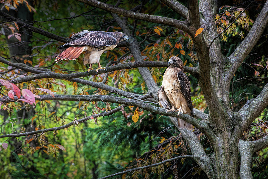 Two Red-tail Hawks perched on Tree Branches in a West Michigan W by Randall Nyhof