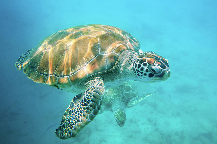 Underwater Photograph - Two Sea Turtles by Matteo Colombo