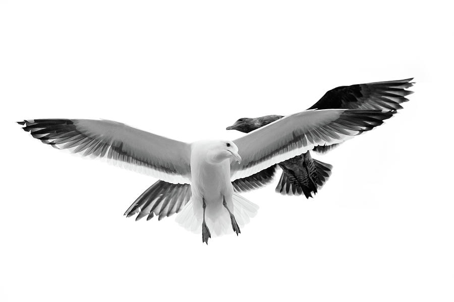 Two Seagulls In Flight Photograph by Suzanne Dehne
