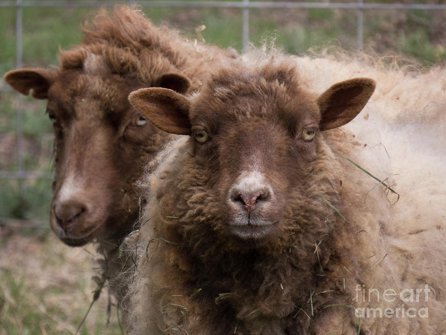 Two Sheep Getting Their Photo Taken by Christy Garavetto