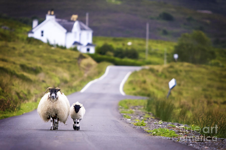 Country Photograph - Two Sheep Walking On Street In Scotland by Otmarw