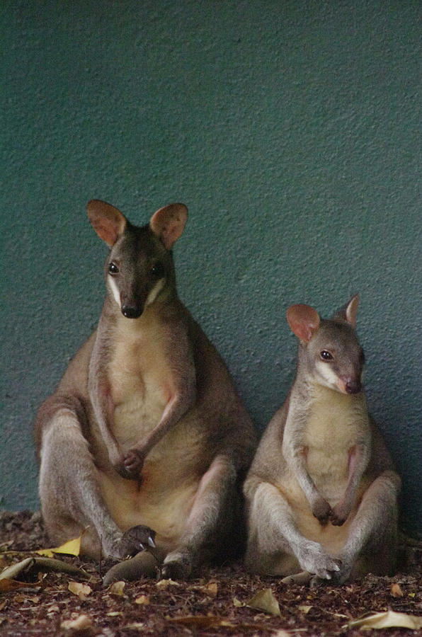 Two Sitting Wallabies Photograph by Ming Thein / Mingthein.com