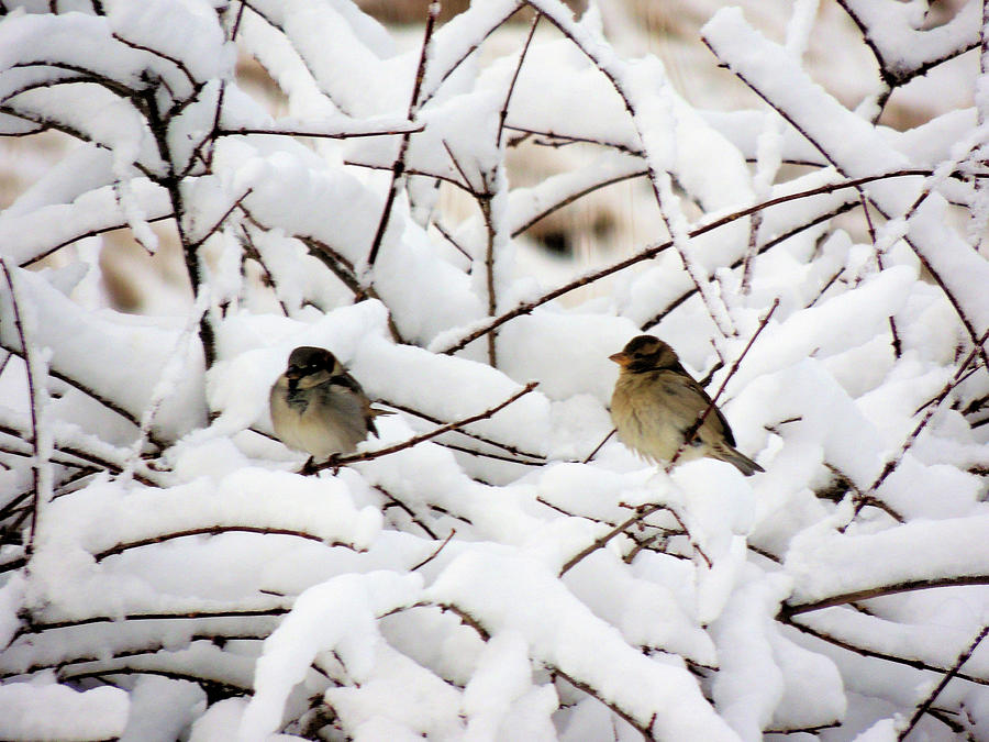Two Sparrows In Winter Photograph