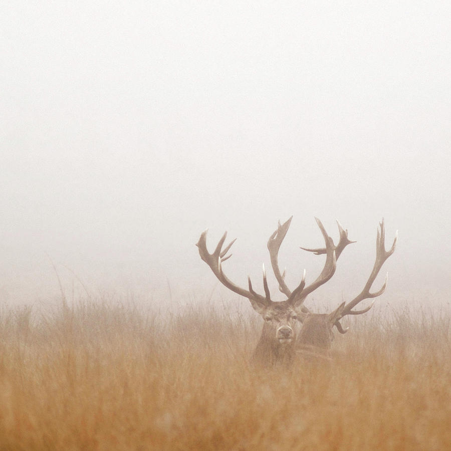Two Stag Deer Resting In Field On Foggy Photograph by Beholdingeye