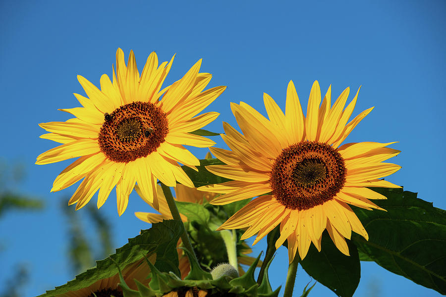 Sunflower Photograph - Two Sunflowers by Jeff Severson