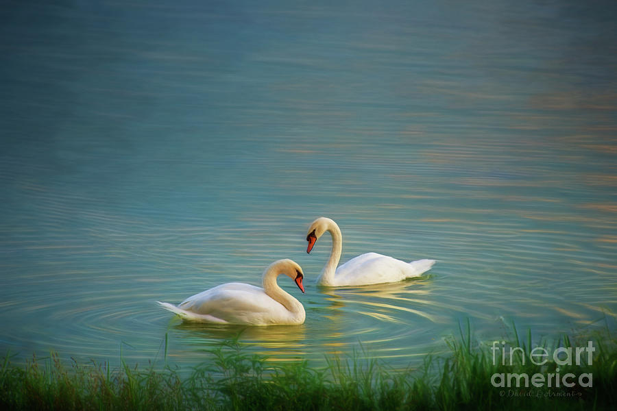 Two Swans on Peaceful Lake by David Arment