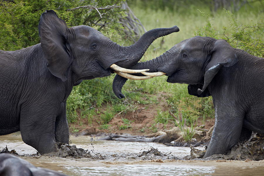 Two Teenaged Male African Elephant Photograph by James Hager / Robertharding
