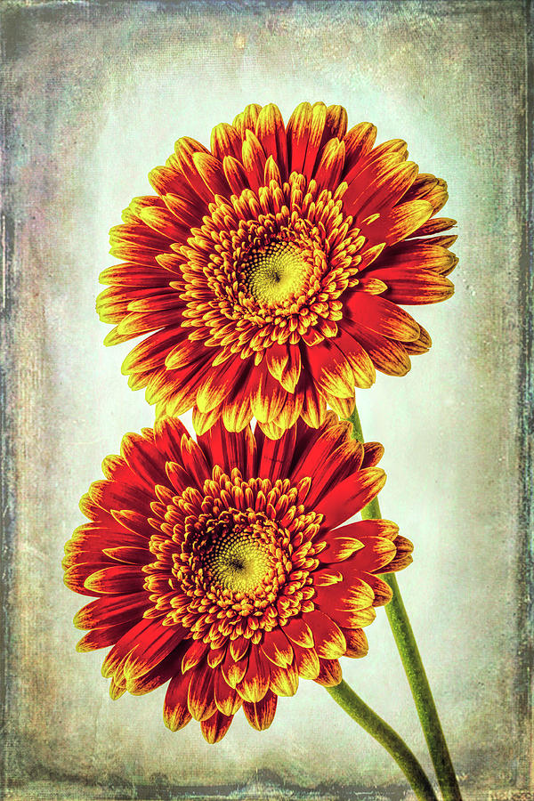 Moody Photograph - Two Textured Gerbera Daisies  by Garry Gay