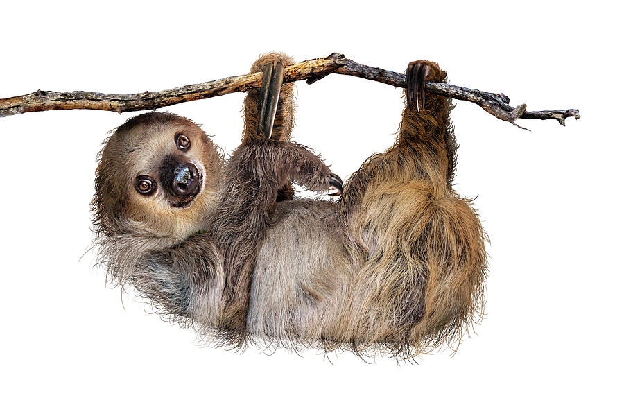 Two-Toed Sloth Named Fernando by Susan Schmitz