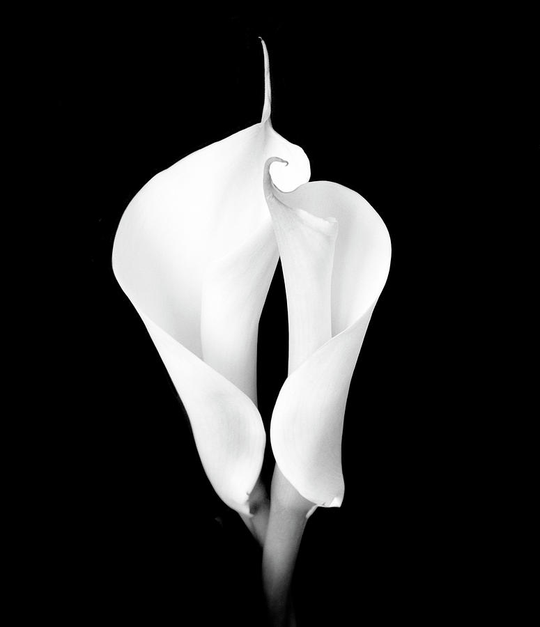 Two White Calla Lilies Photograph by Eversofine