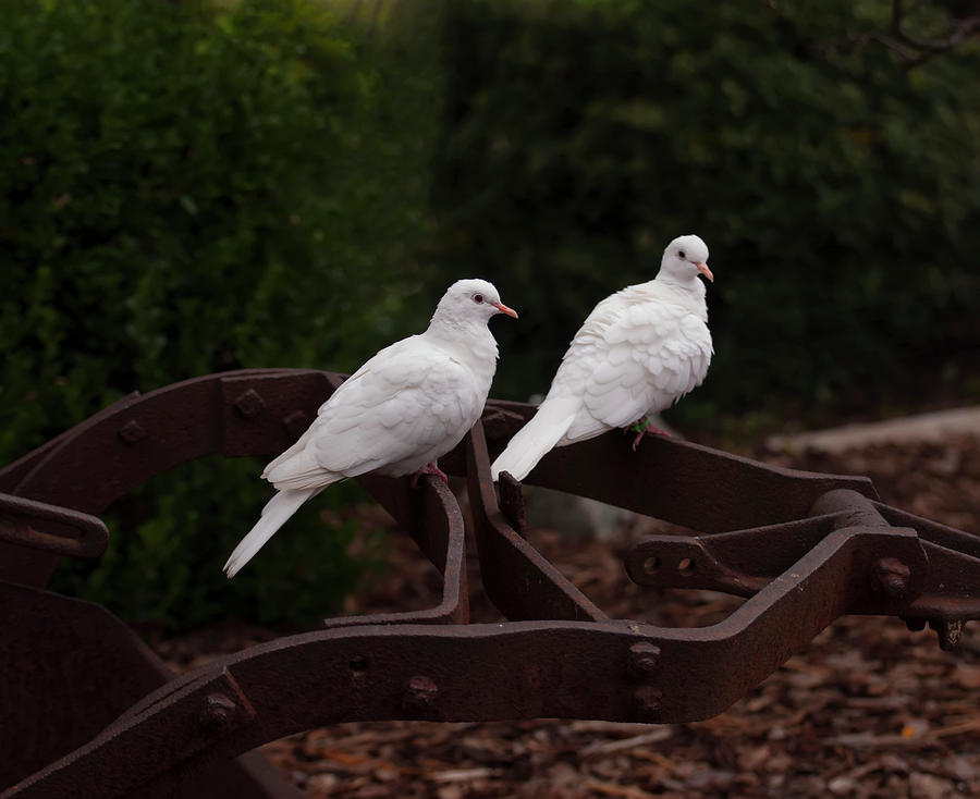 two white doves on farm equiptment 002 by Chris Flees