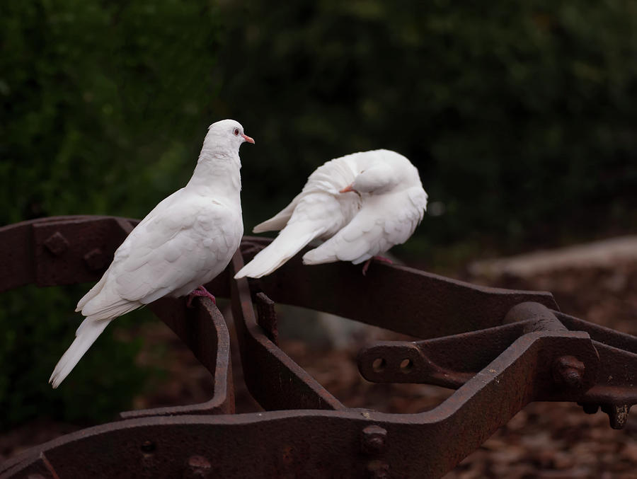 two white doves on farm equiptment 003 by Chris Flees