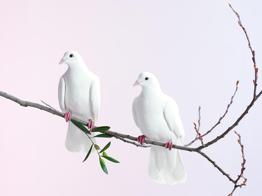 Two White Doves With Olive Branch Photograph by Walker And Walker
