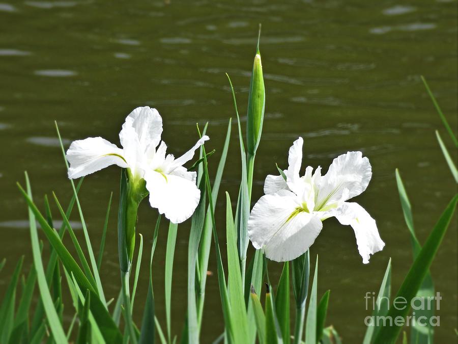 Two White Irises. by Trudee Hunter