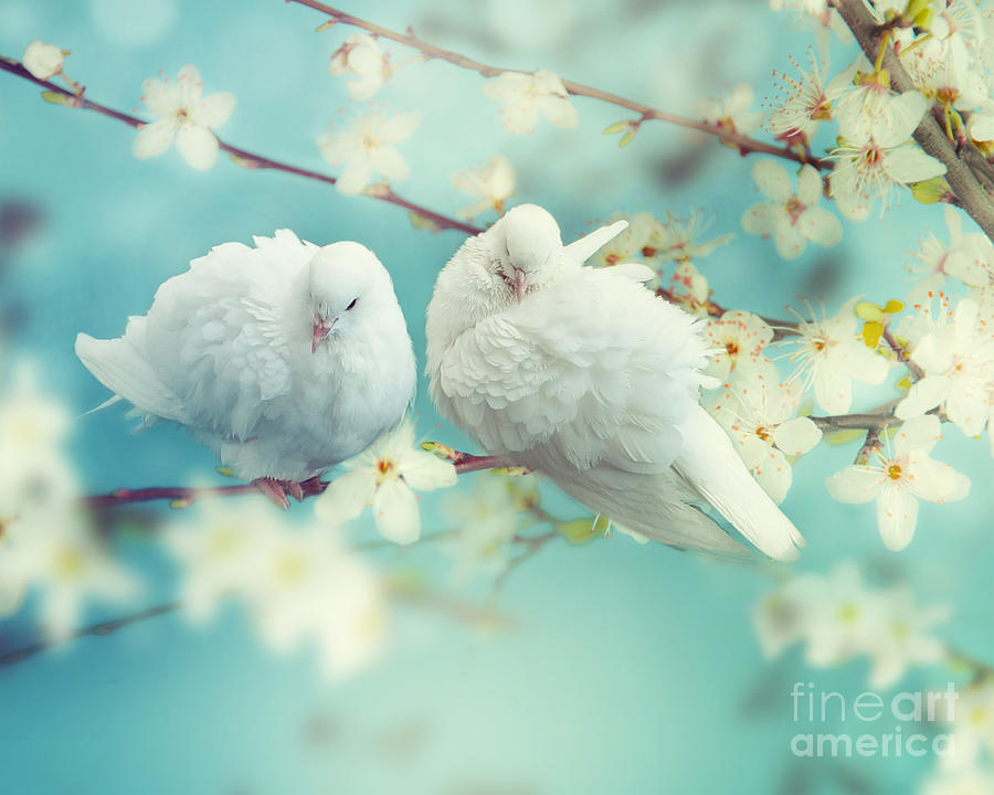 Love Photograph - Two White Pigeon On Flowering by Igoraleks