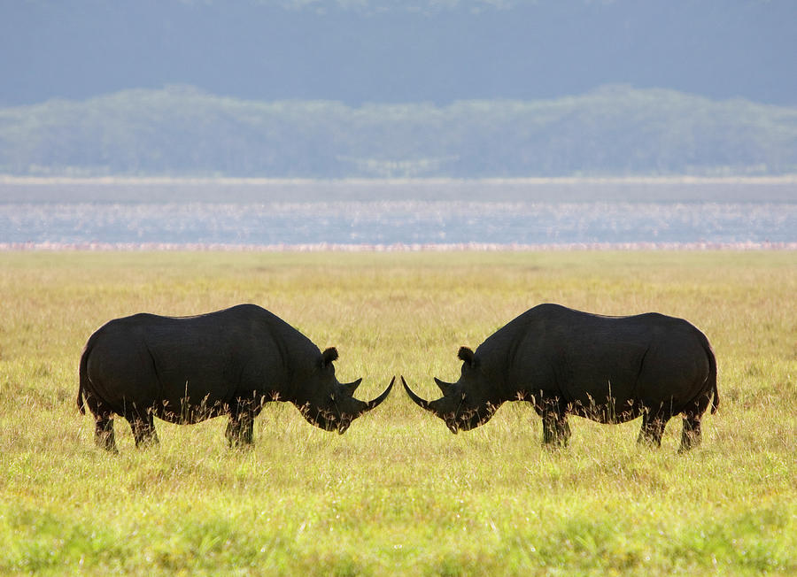 Two White Rhinoceros Face To Face On Photograph by Grant Faint