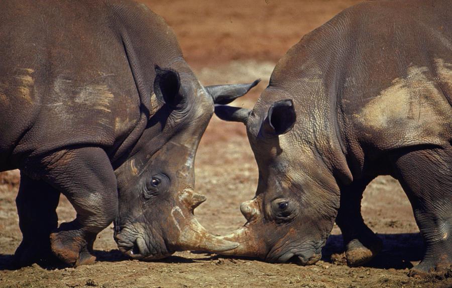 Two White Rhinocheros Fr. Zululand Photograph by Nina Leen