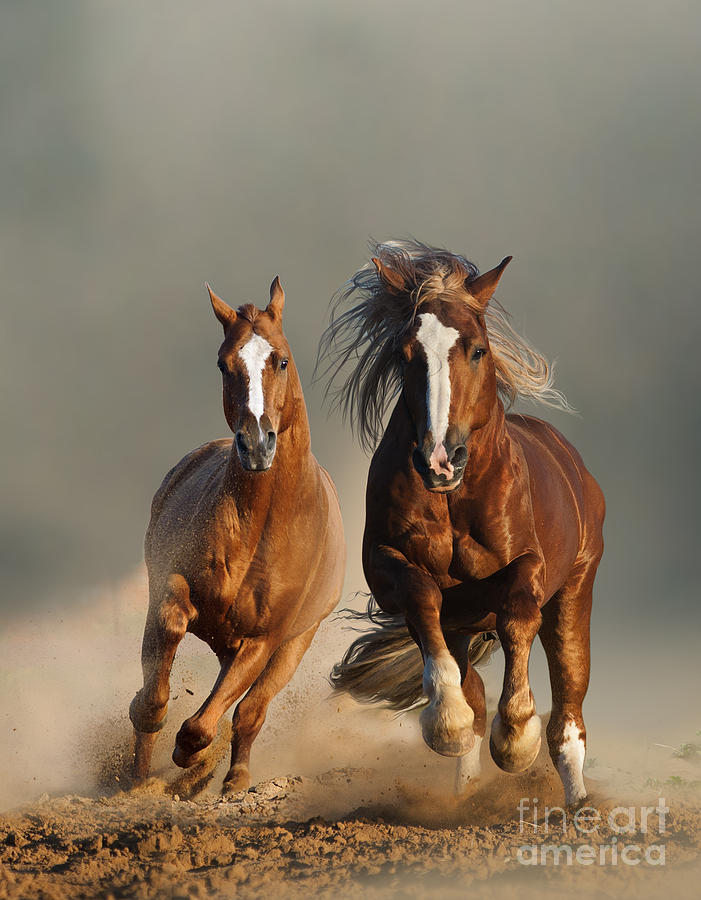 Prairies Photograph - Two Wild Chestnut Horses Running by Mariait